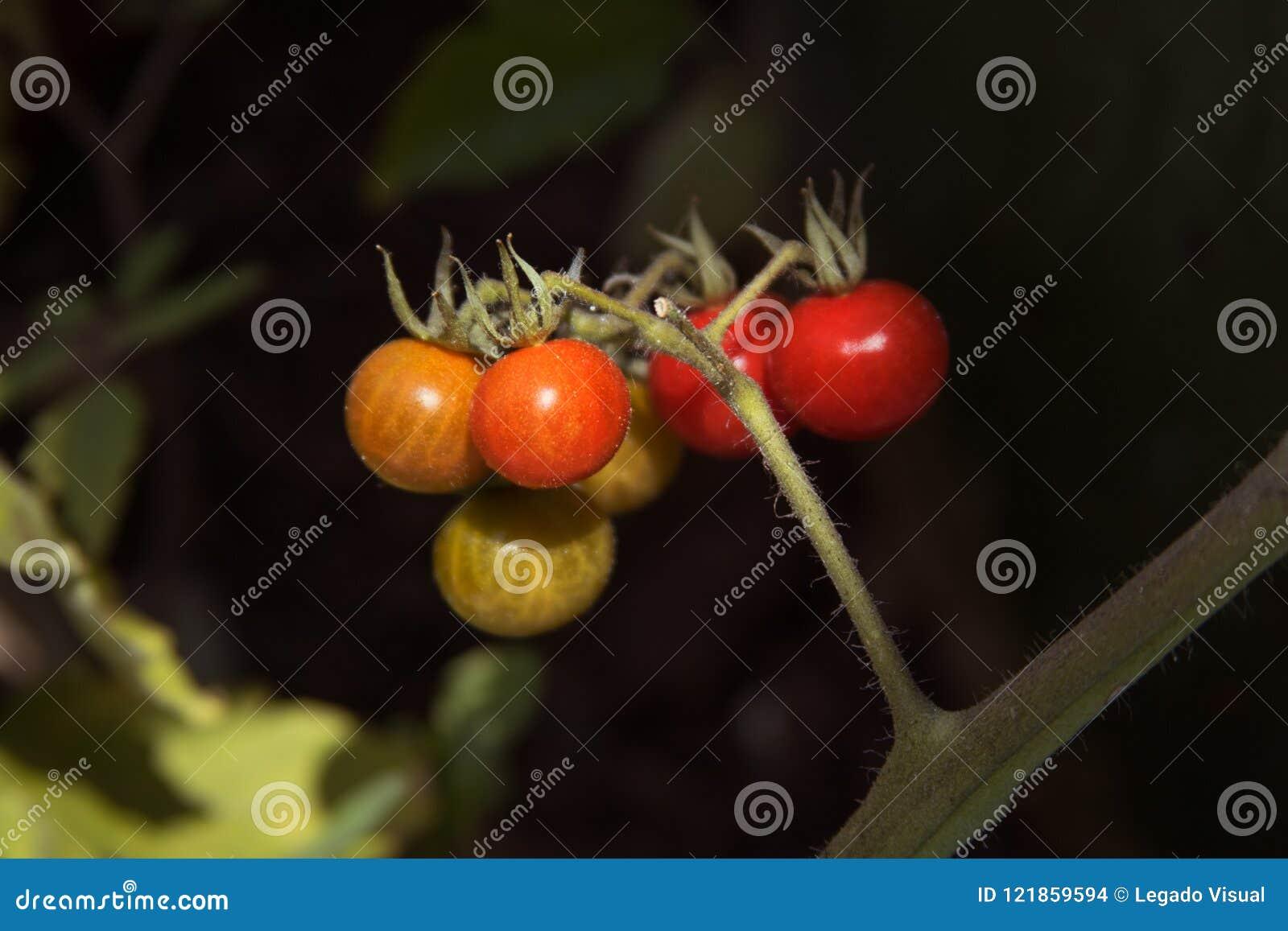 Wilde tomaten in natuurlijk milieu