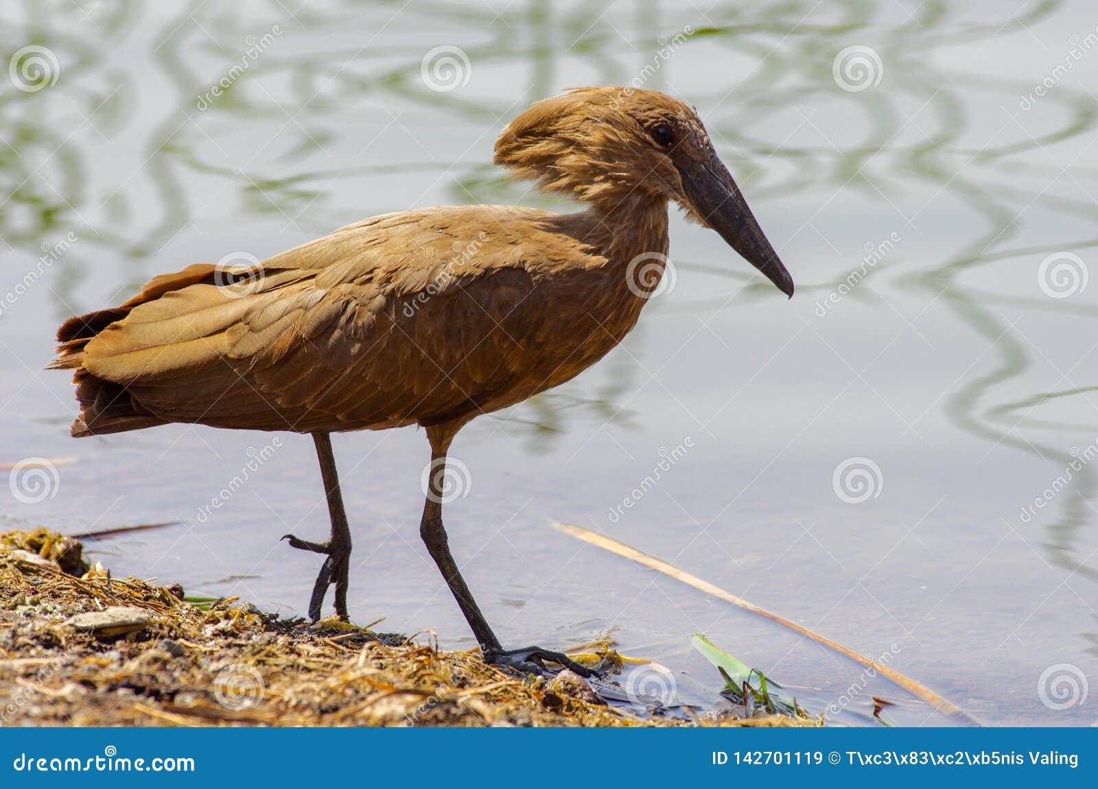 Wilde vogel dicht bij het meer in Ethiopië, Februari 2019