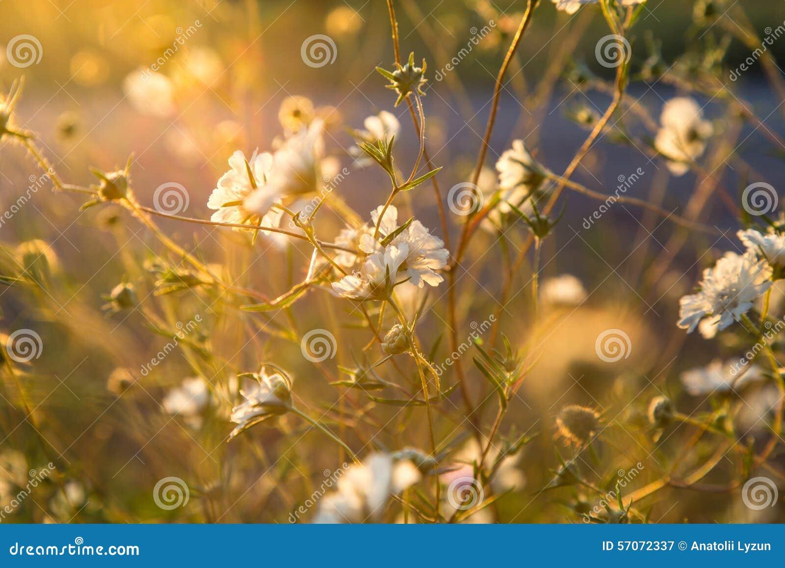 Wilde witte bloemen in zonweide