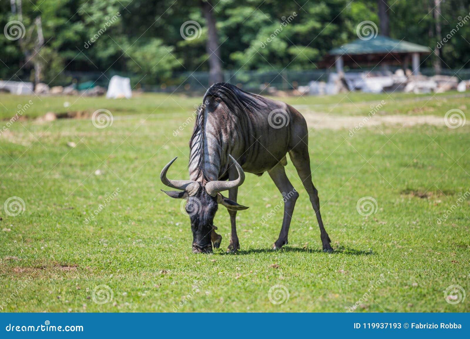 Wildebeest łasowania trawa
