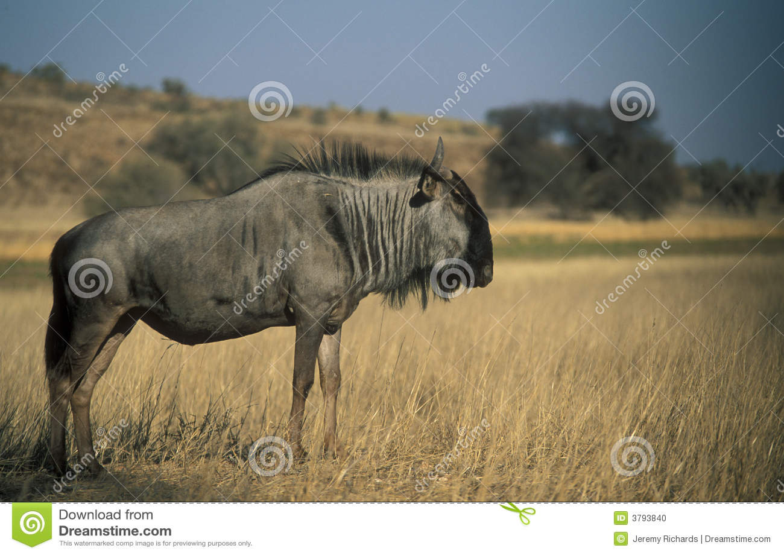 Wildebeest azul