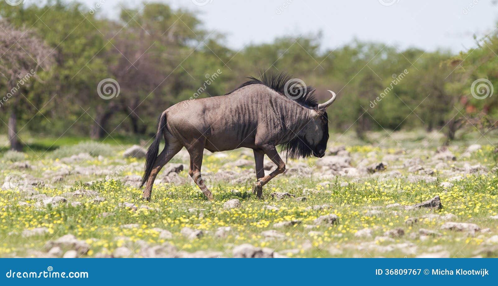 Wildebeest chodzi równiny Etosha park narodowy