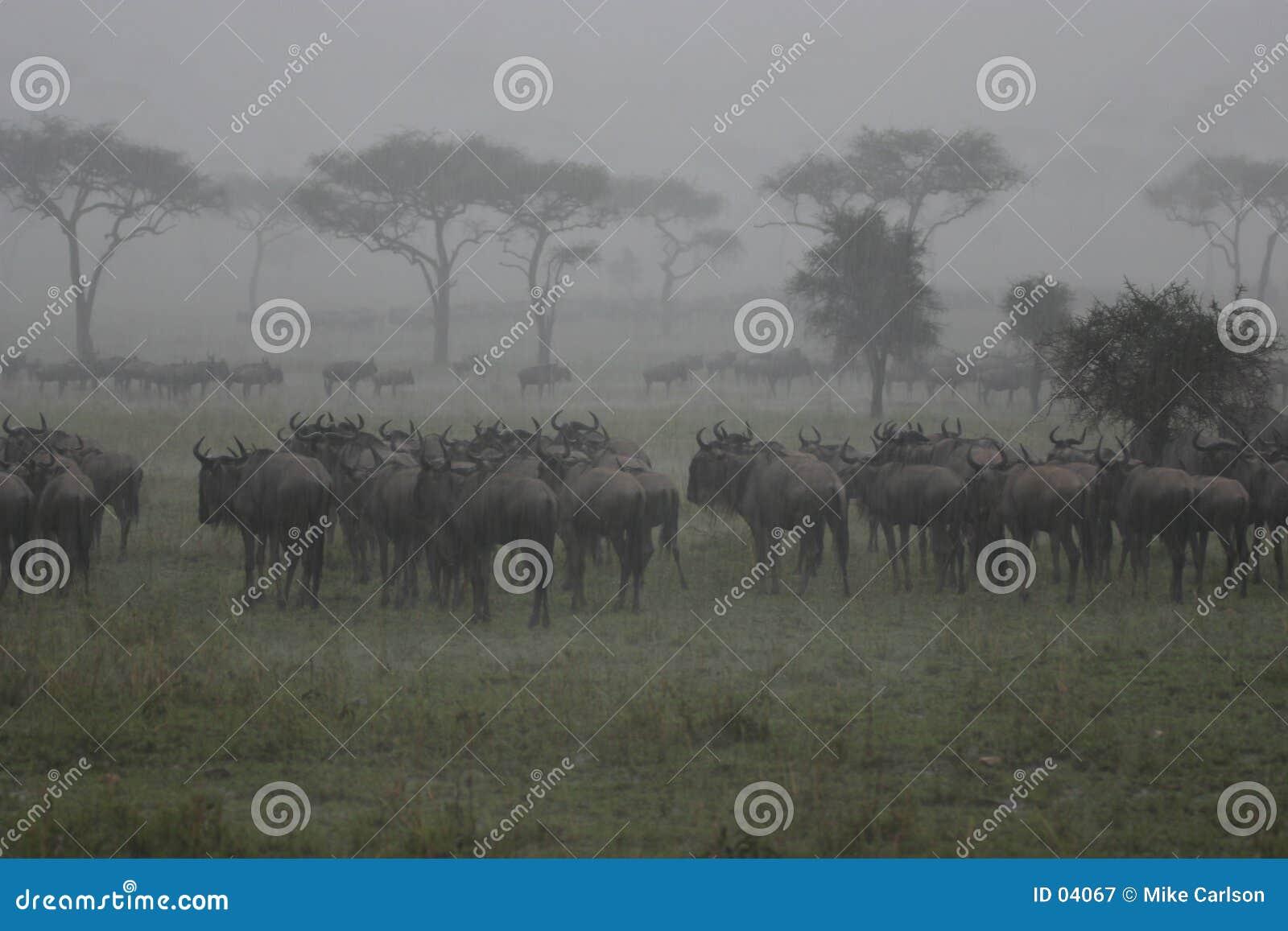 Wildebeest en la lluvia