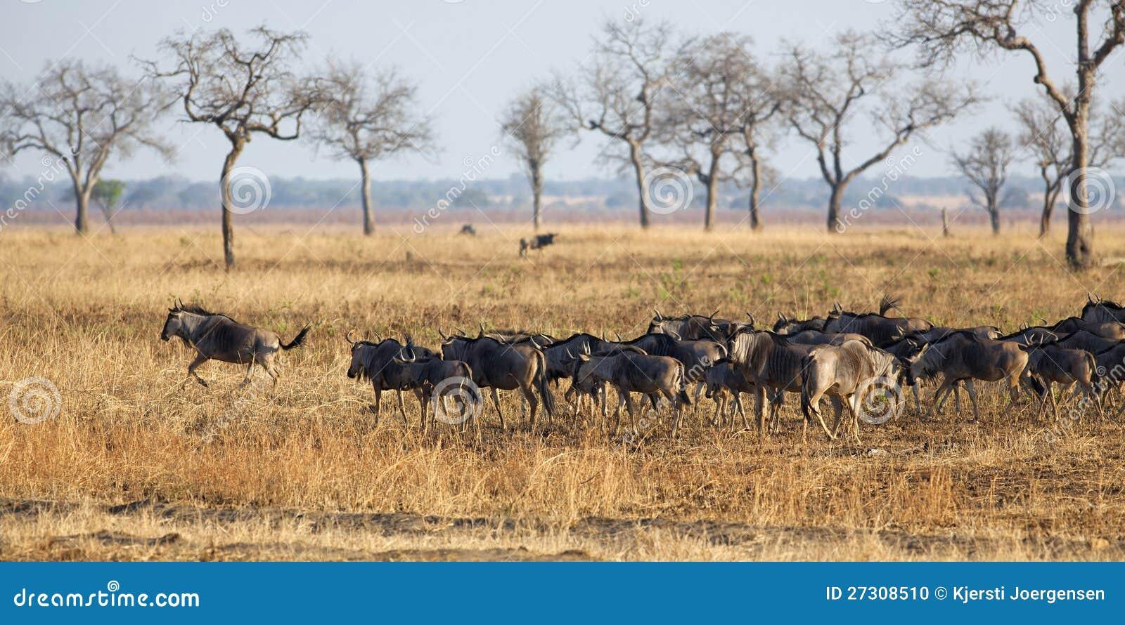 Wildebeest en Mikumi