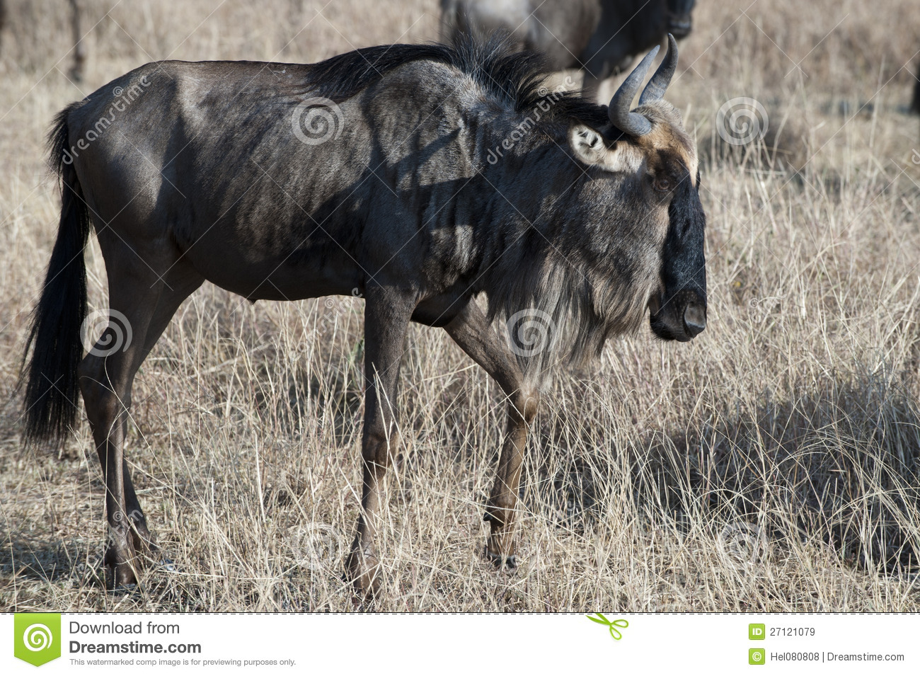Wildebeest - gnu - no serengeti