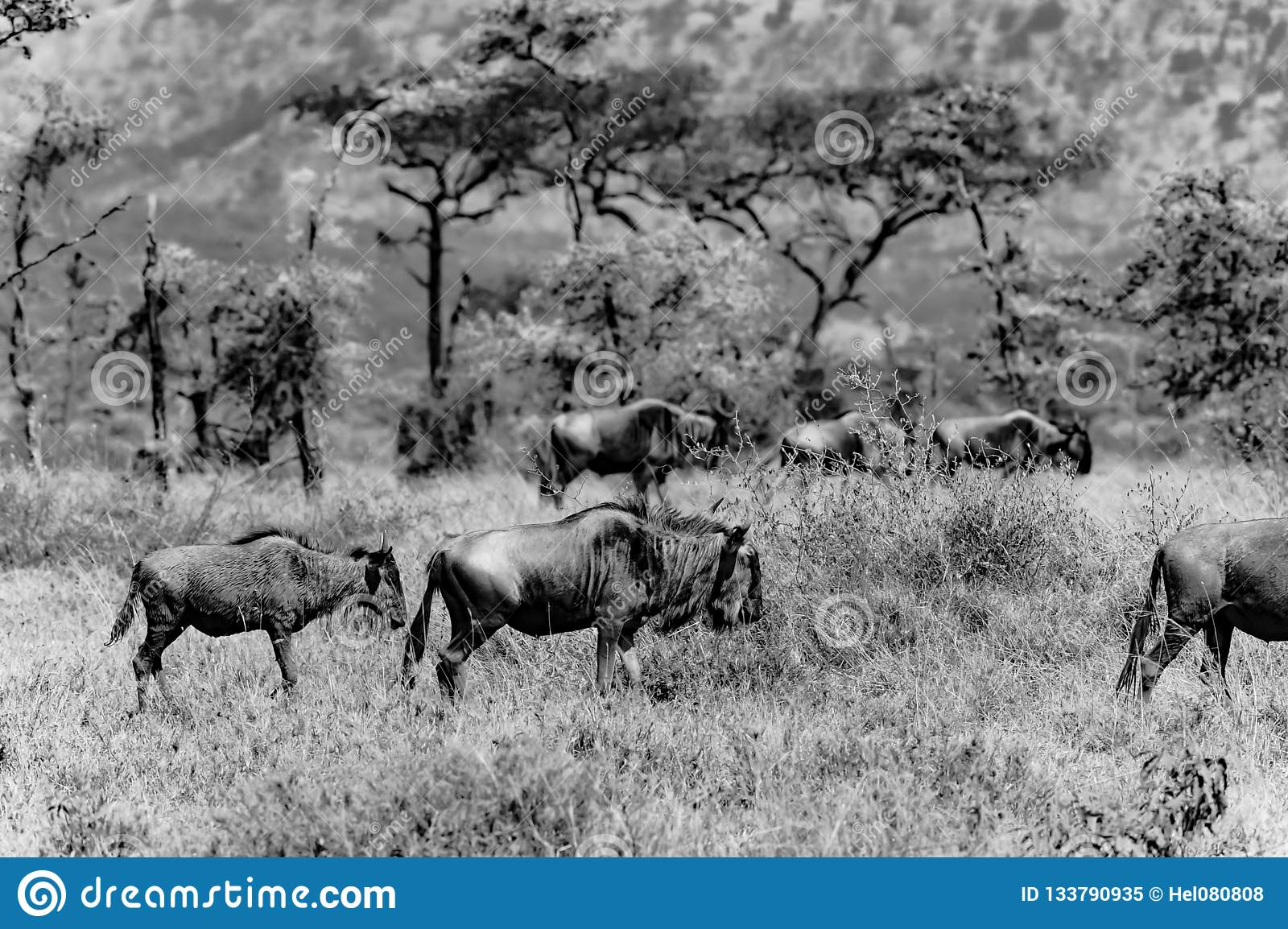 Wildebeest in tanzania africa black and white photograph