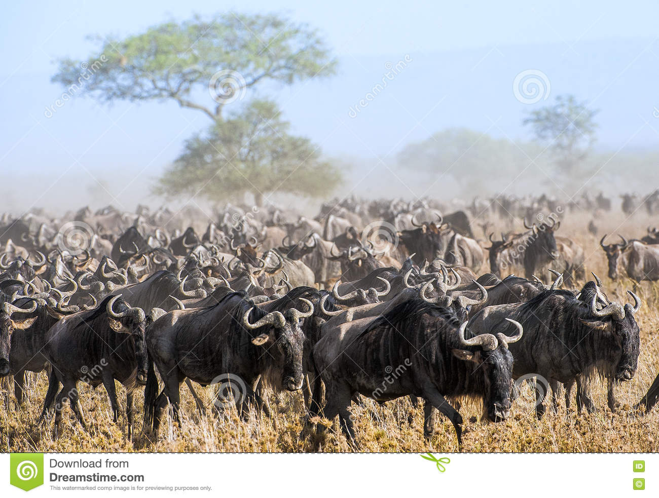 Wildebeest migration. The herd of migrating antelopes goes on dusty savanna. The wildebeests, also called gnus or wildebai, are a