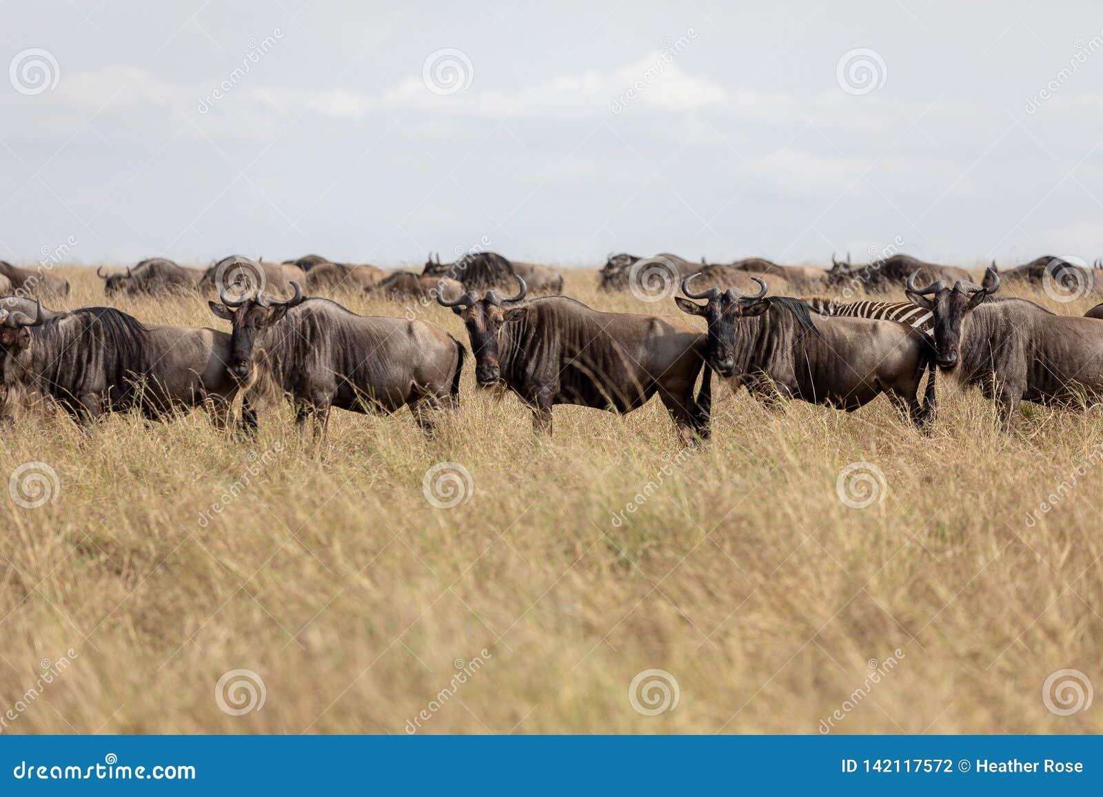 Wildebeest na równinach Masai Mara, Kenja, Afryka