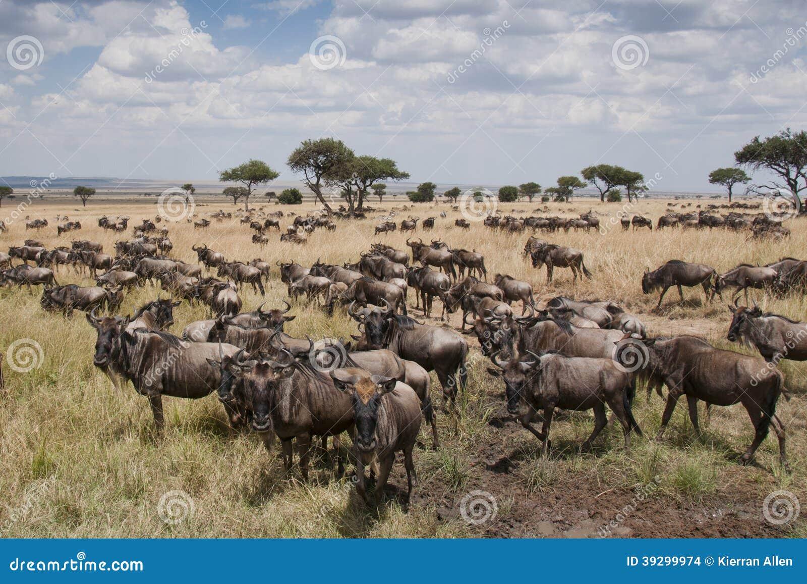Wildebeest na równinach Masai Mara, Kenja