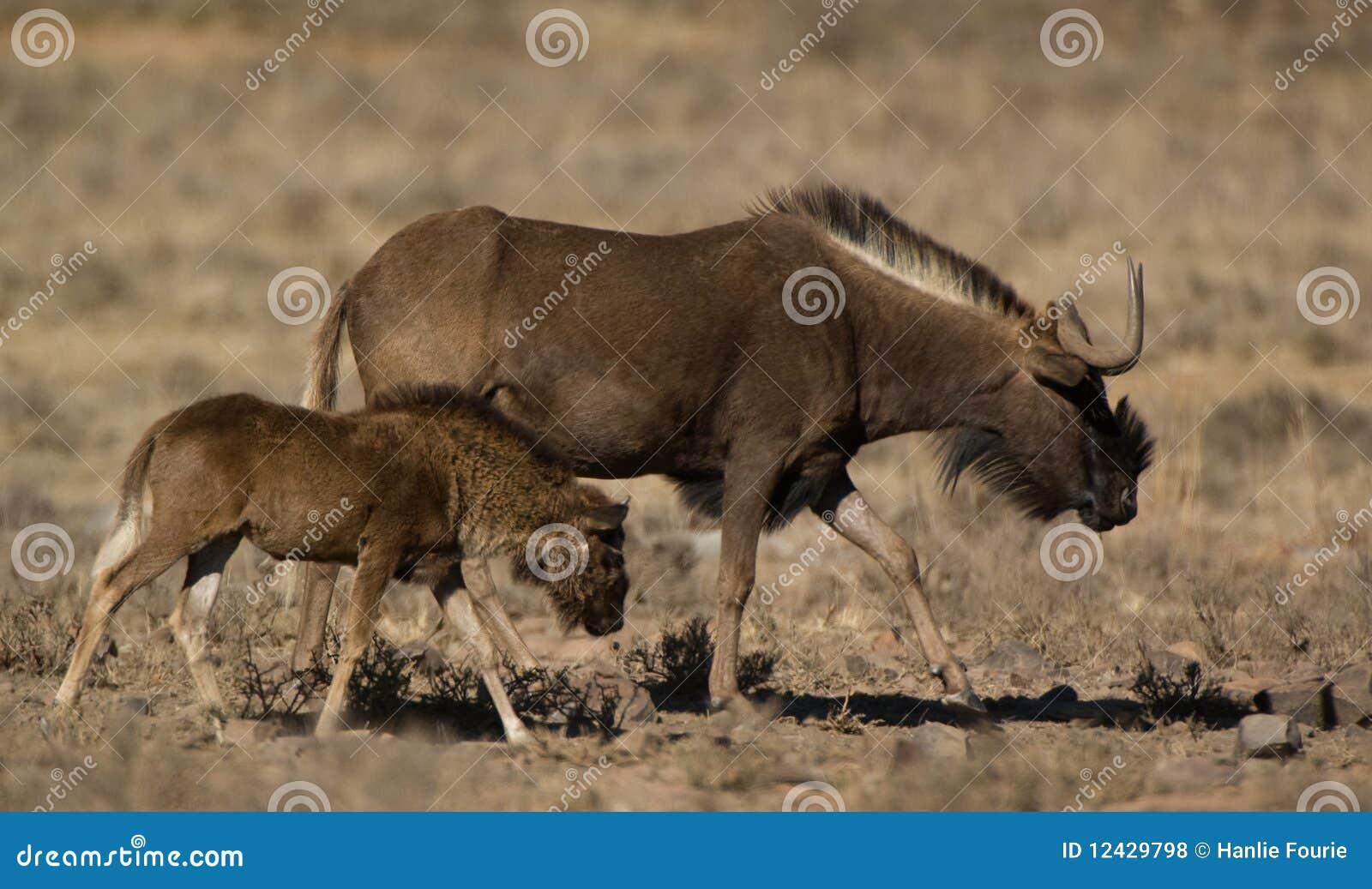 Wildebeest nero