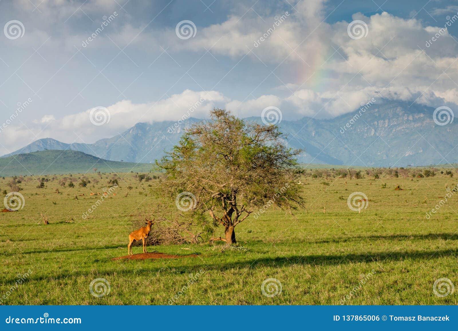 Wildebeest przy samotnym drzewem w Tsavo parku narodowym w Kenja