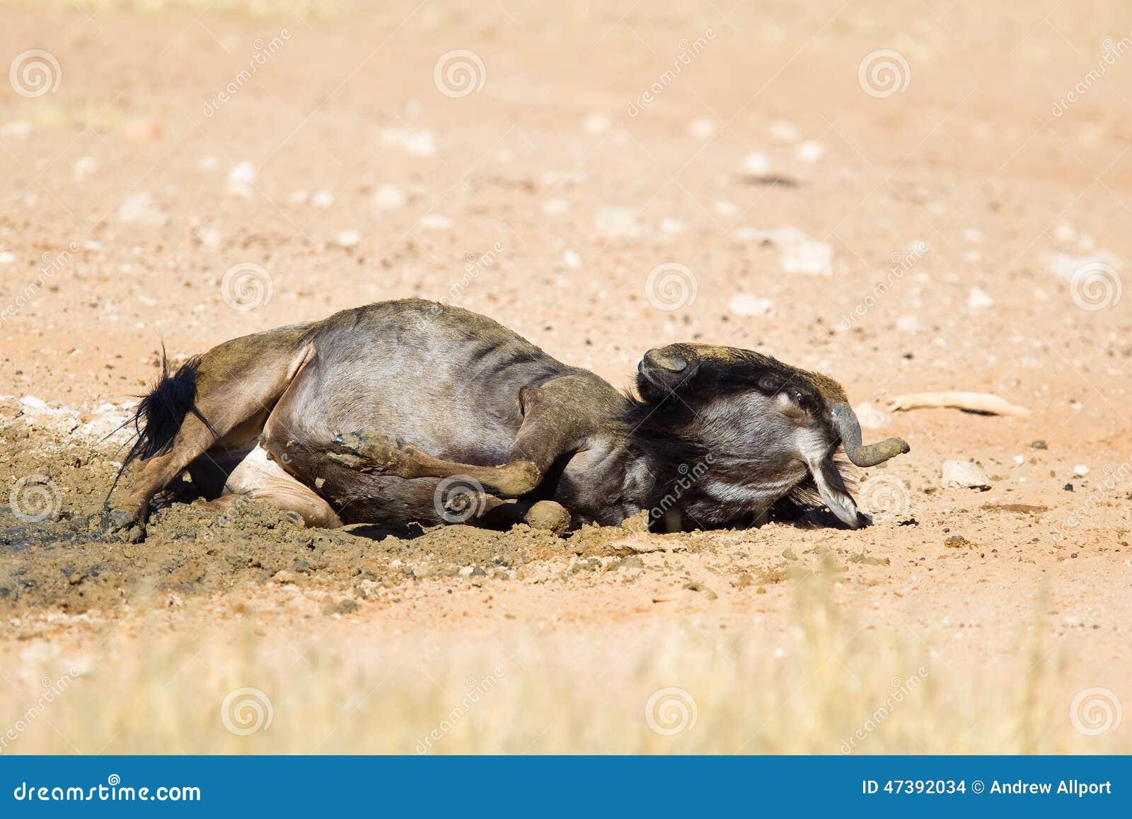Wildebeest pyłu kąpanie