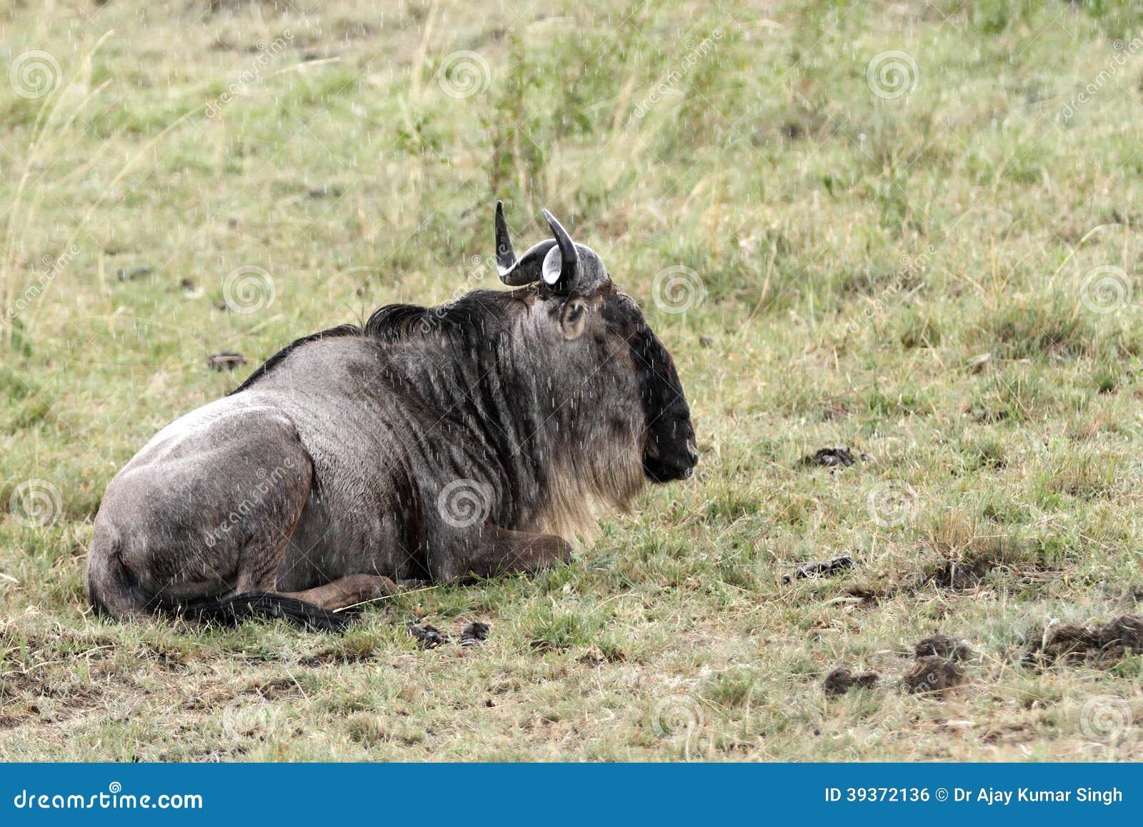 N Ungulate A Wildebeest Si...