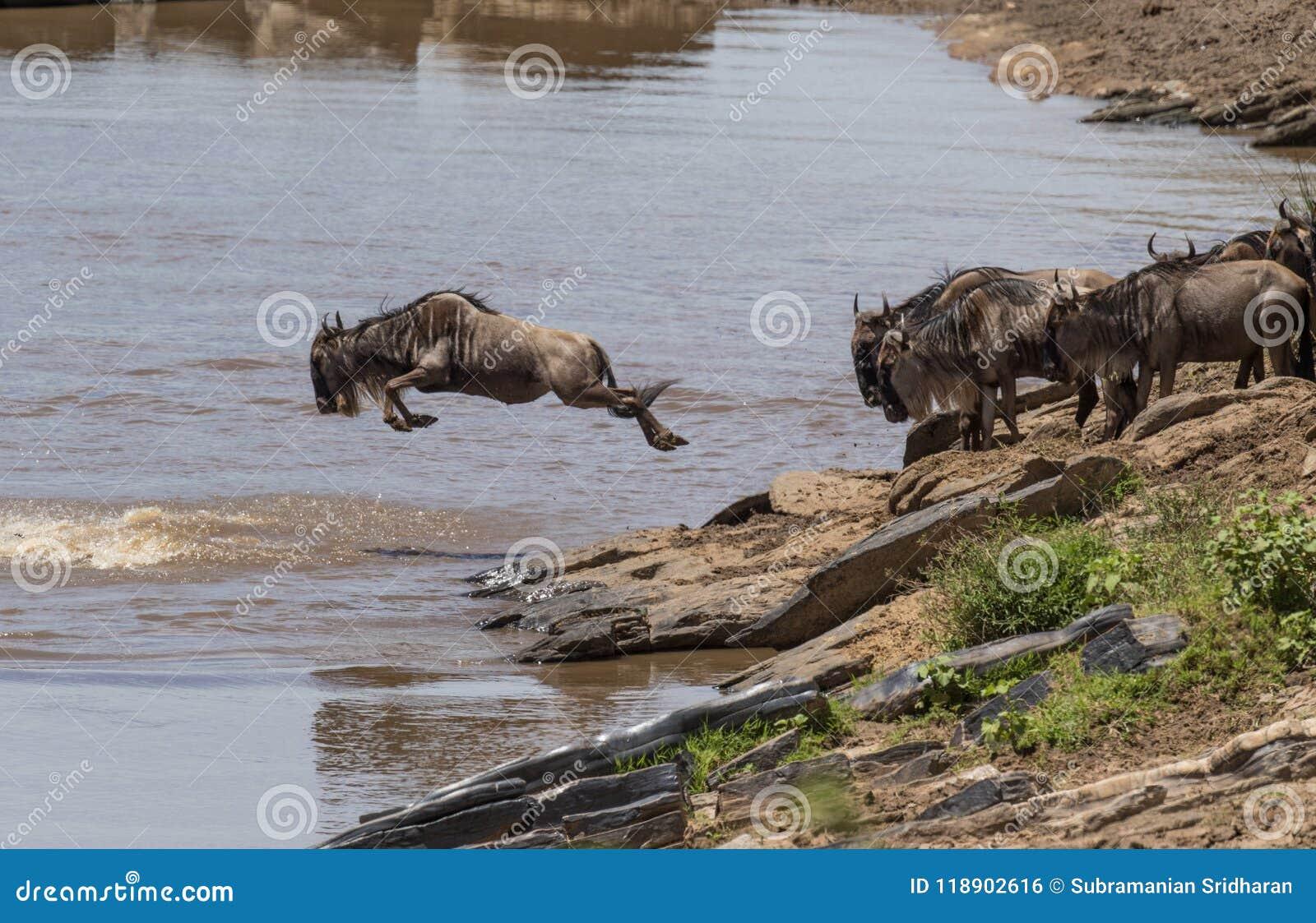 Wildebeest skacze