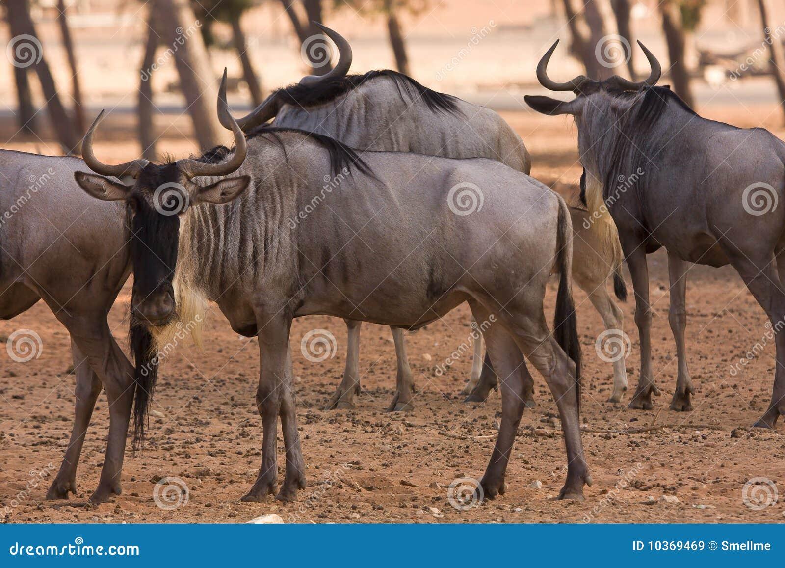 Wildebeests antelopes