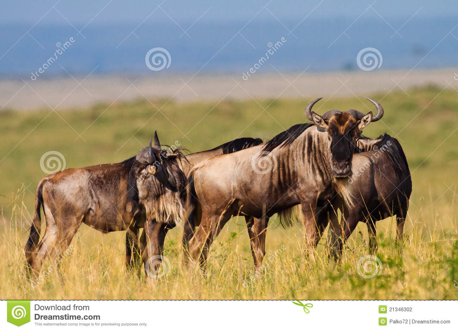 Wildebeests bleus