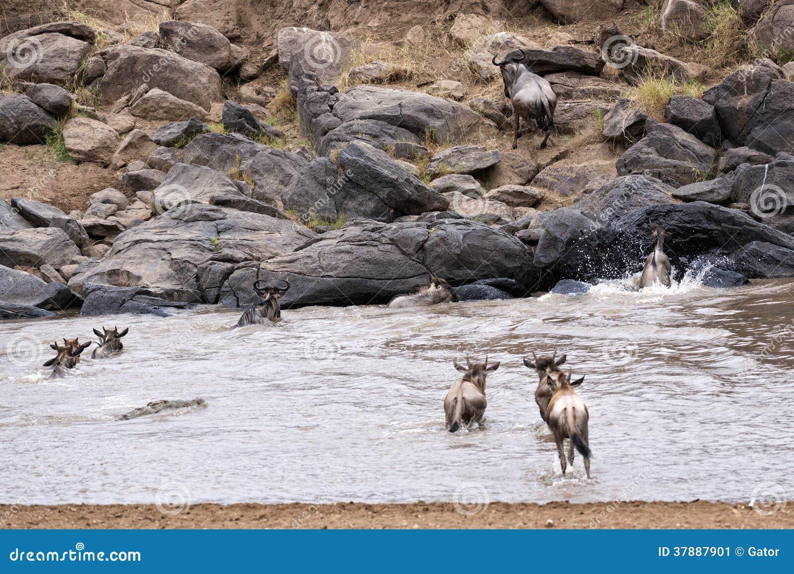 Wildebeests die Mara River kruisen