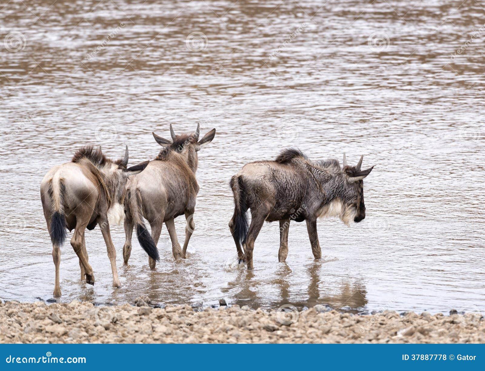 Wildebeests die in water voor de kruising van rivier binnengaan