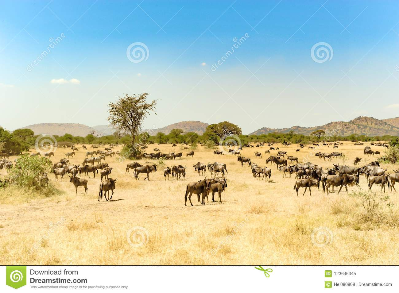 Wildebeests at great migration time in Serengeti, Africa, hundrets of wildebeests together