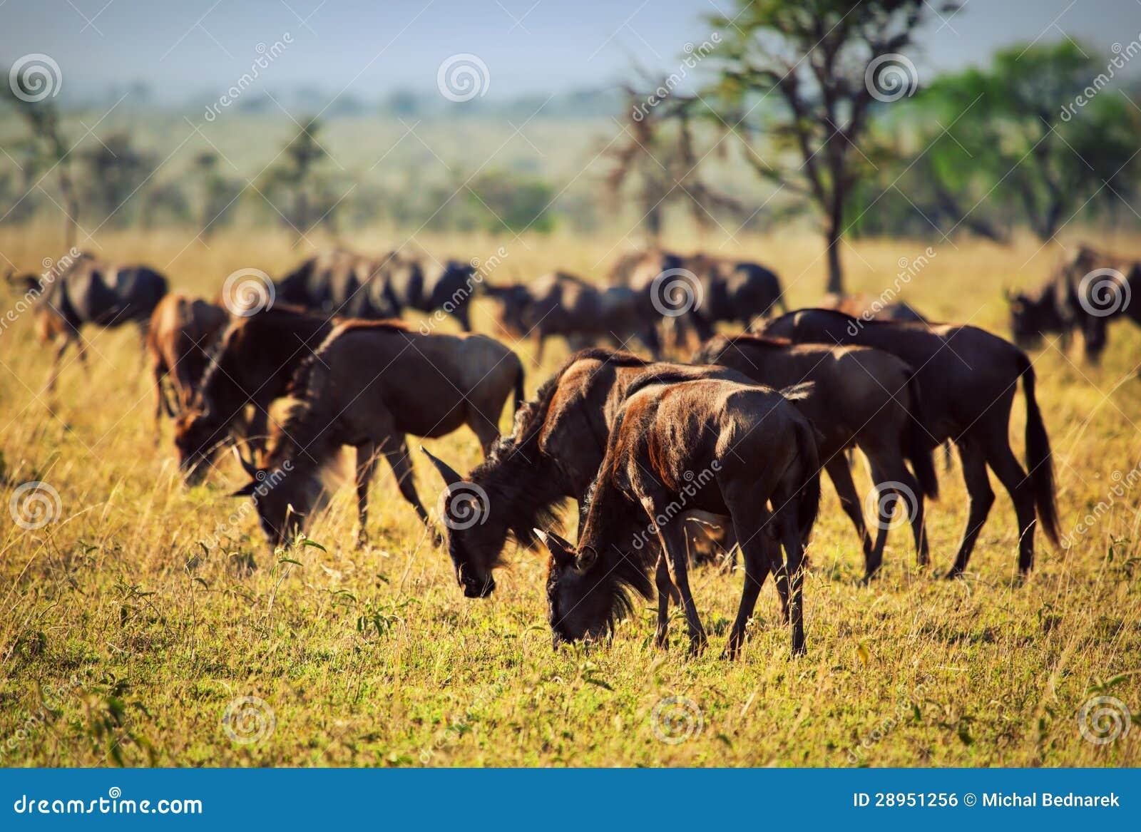 Wildebeests gromadzą się, gnu na Afrykańskiej sawannie