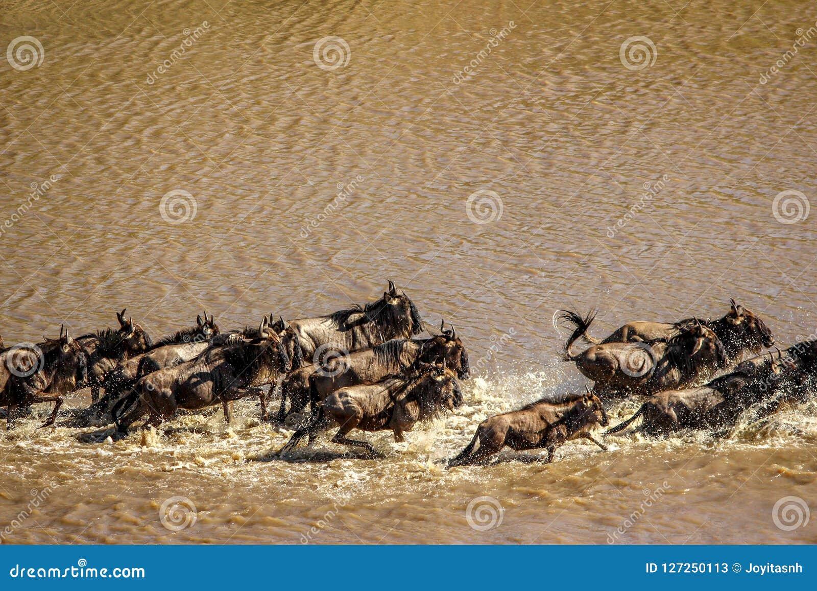 Wildebeests krzyżuje Mara rzekę