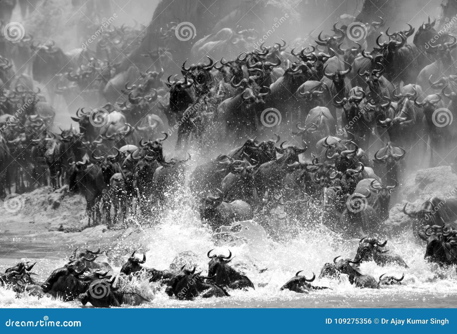 Wildebeests migruje przez Mara rzekę z pluśnięciem woda