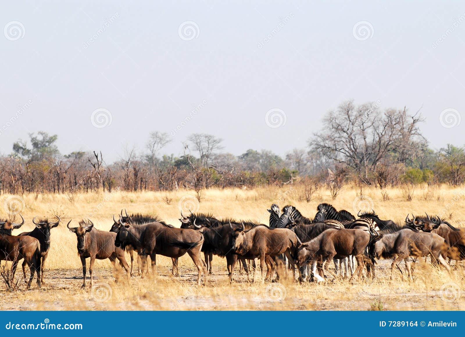 Wildebeests oídos hablar
