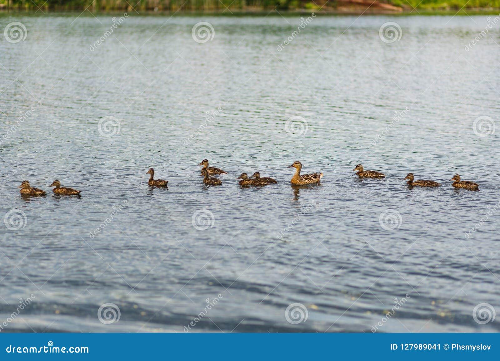Wildente mit den Entlein, die in den Teich schwimmen