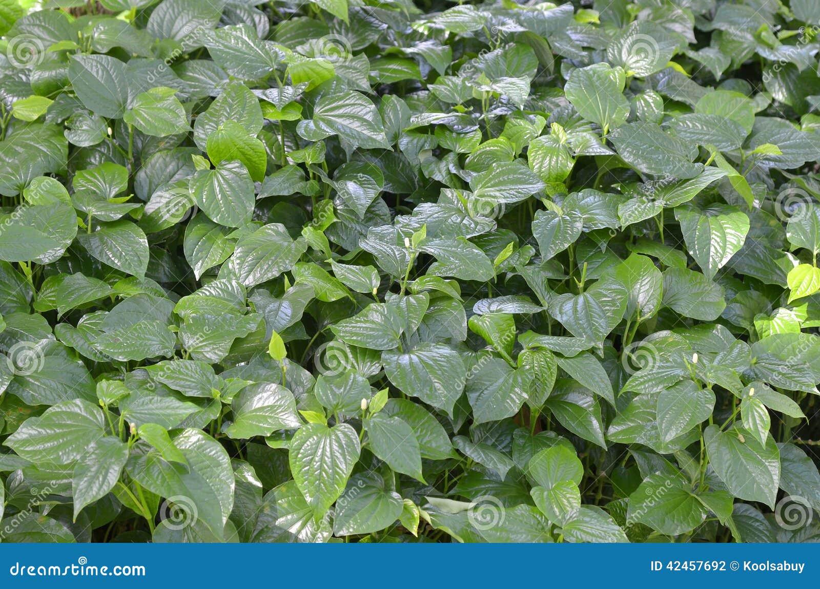 Wilder Betel Leafbush
