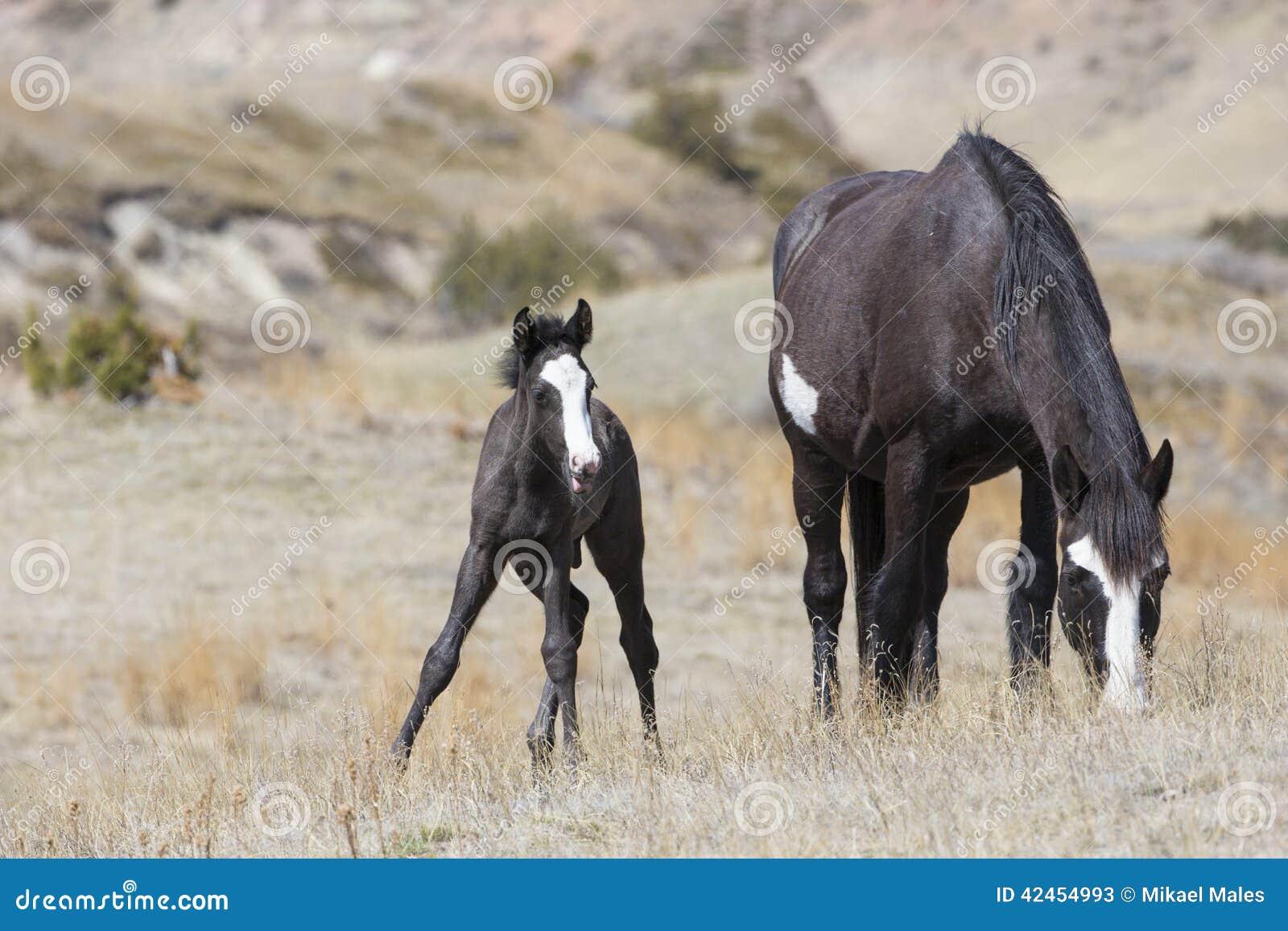 Wilder Colt, der nah an Mutter für Schutz bleibt