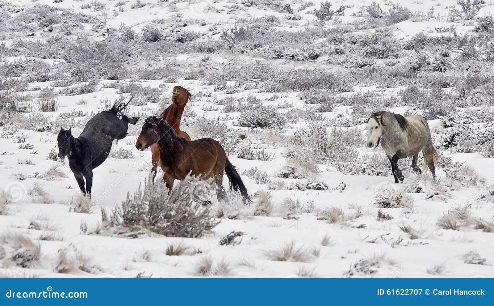 Wilder Colts (Pferd) im Schnee an der Winterzeit in Australien