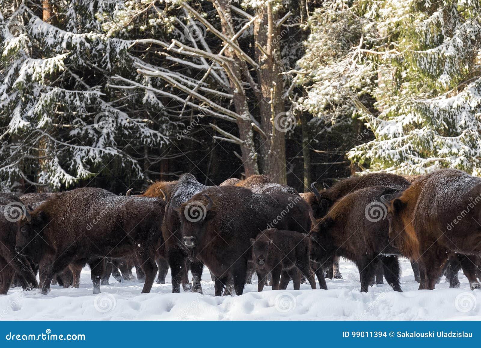Wilder europäischer Aurochs-Wisent, Kalb und Mutter Das Kalb und die Mutter von Brown Bison Bison Bonasus Are Standing On das Bac