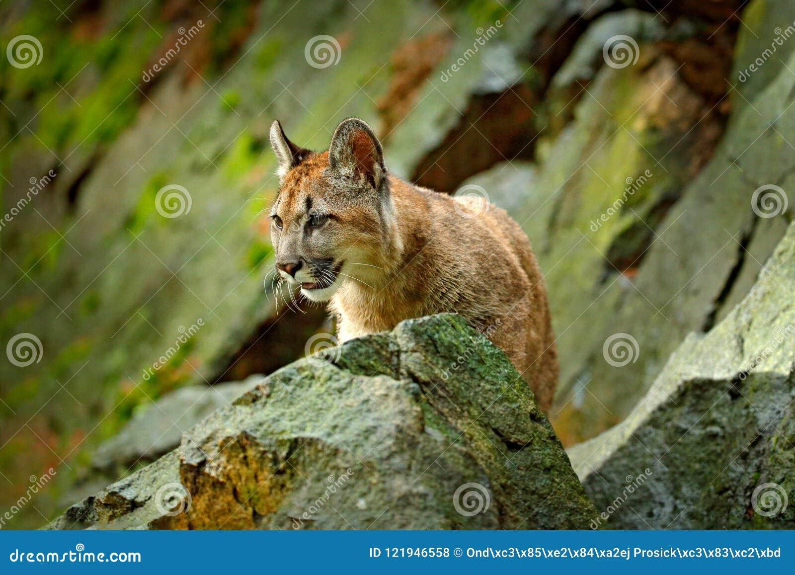 Wilder große Katze Puma, Puma concolor, verstecktes Porträt des gefährlichen Tieres mit Stein, USA Szene der wild lebenden Tiere