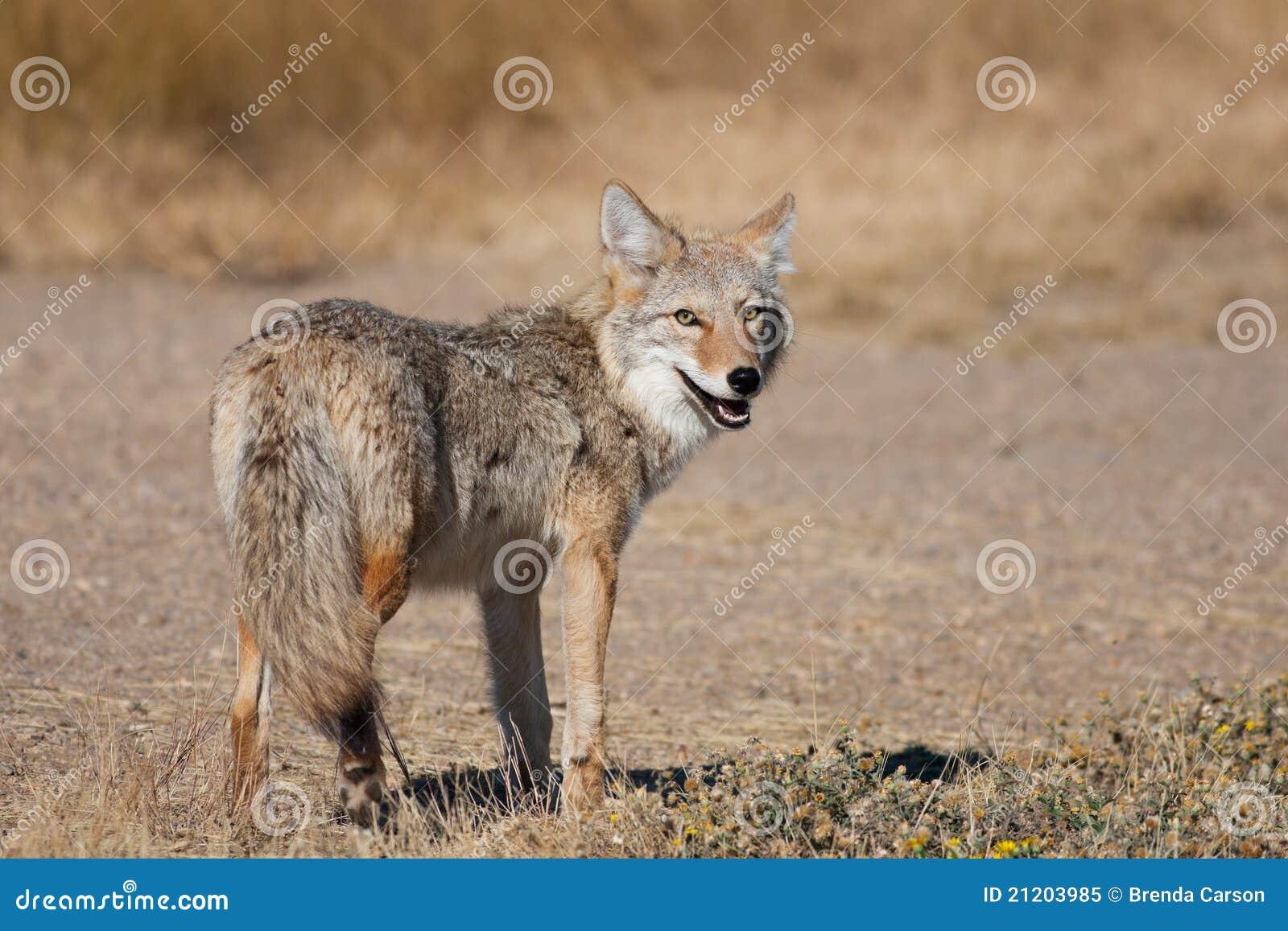 Wilder Kojote