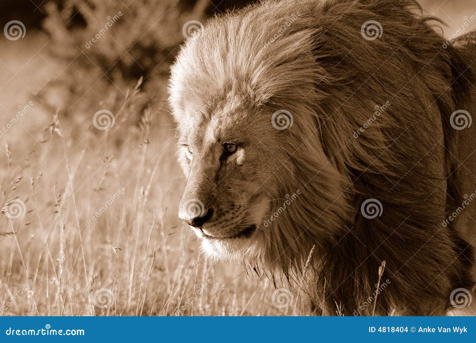 Wilder Löwe