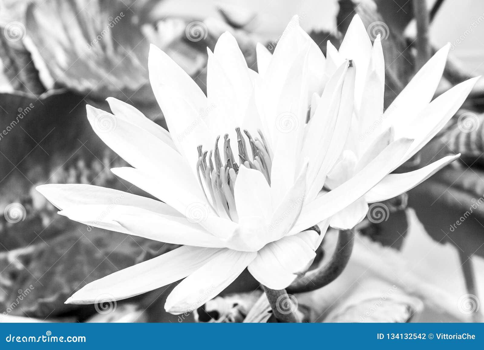 Wilder Lotos Nelúmbo in der Blüte Indonesien, Papua-Neu-Guinea