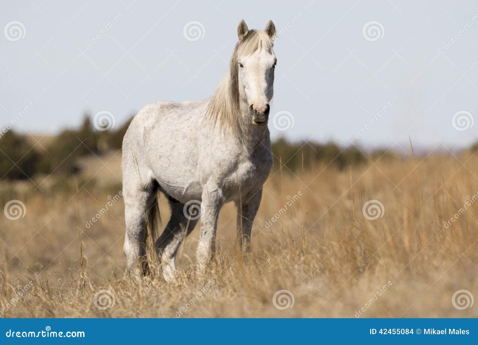 Wilder Mustang, der am Alarm steht