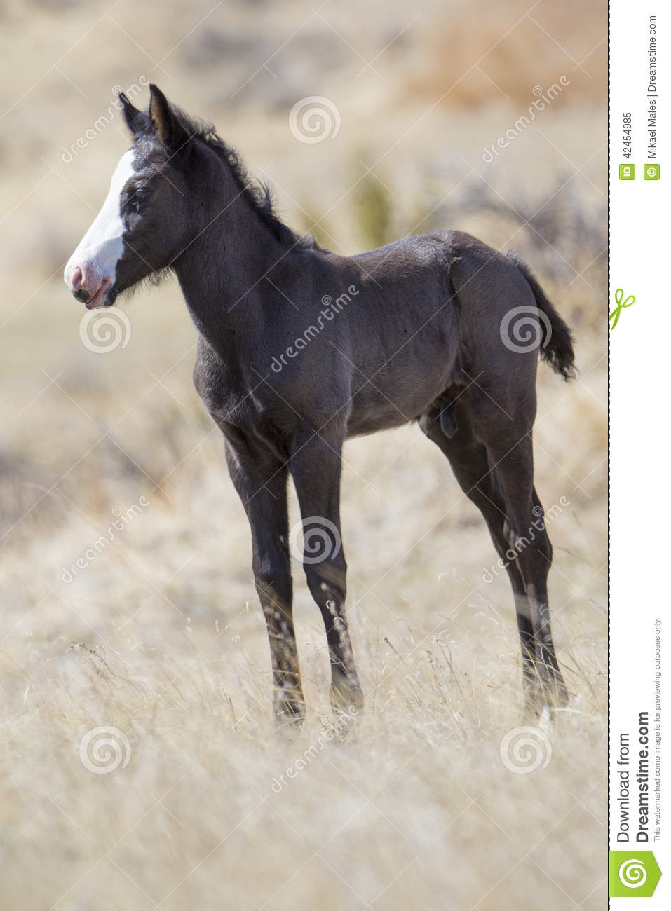 Wilder neugeborener Colt in Nationalpark Roosevelts