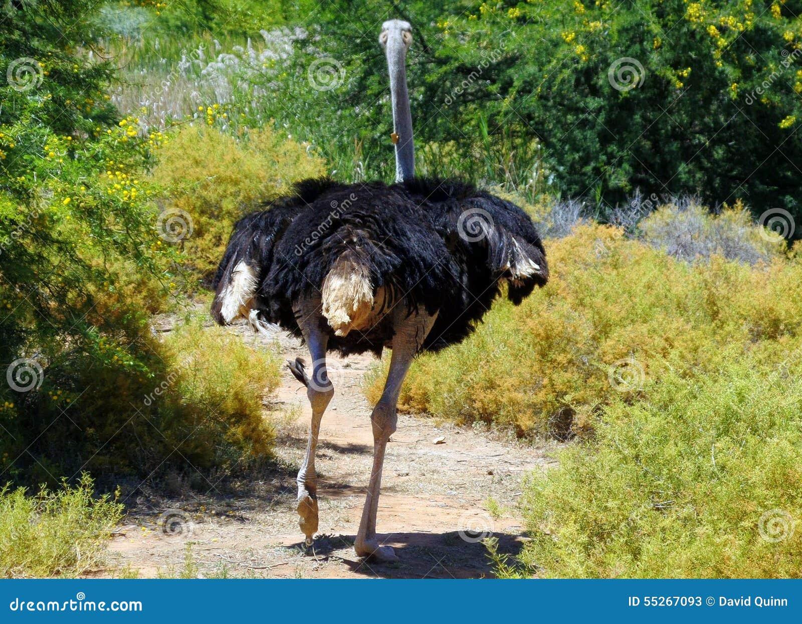 Wilder Strauß Der In Südafrika Läuft Stockbild Bild Von Wild