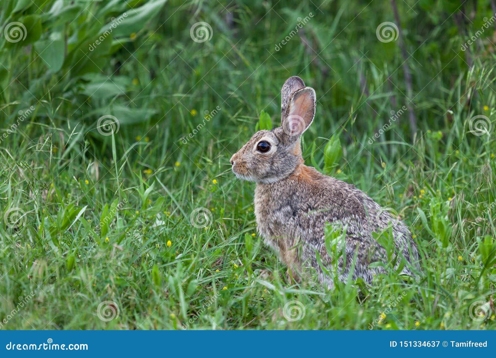 Wildes H?schen-Kaninchen