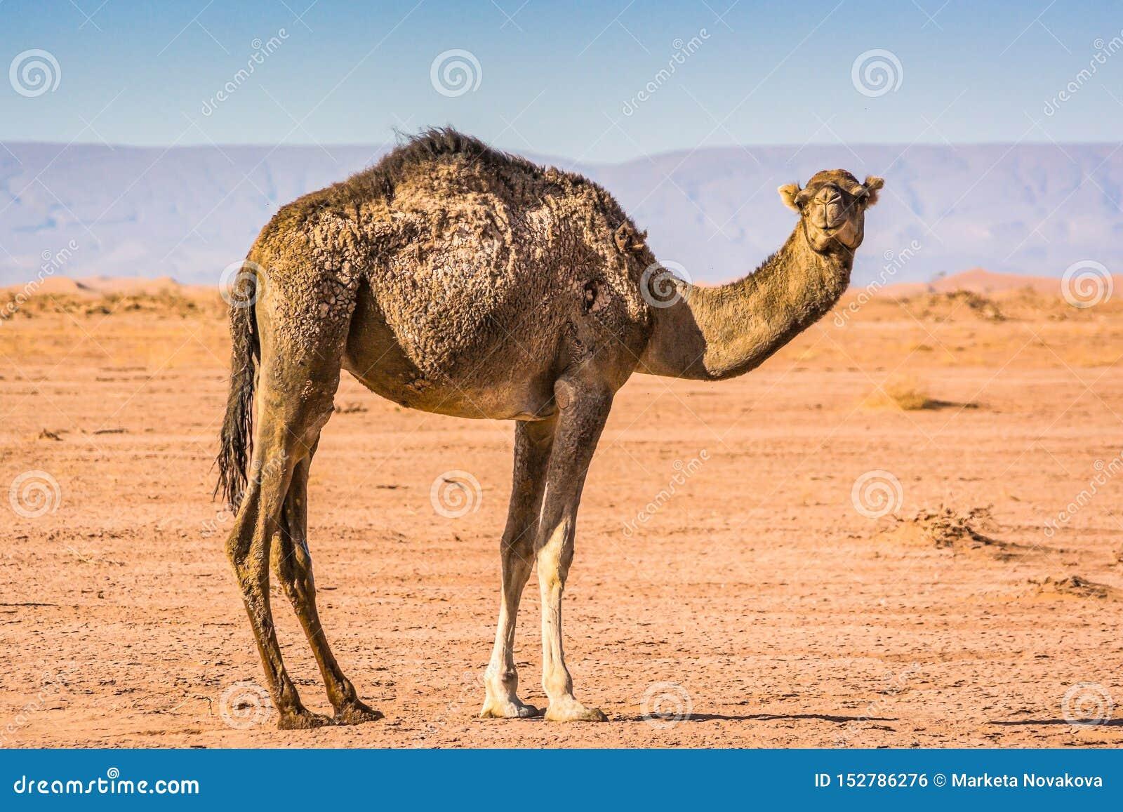 Wildes Kamel in der Wüste Sahara im Erg Chigaga, Marokko