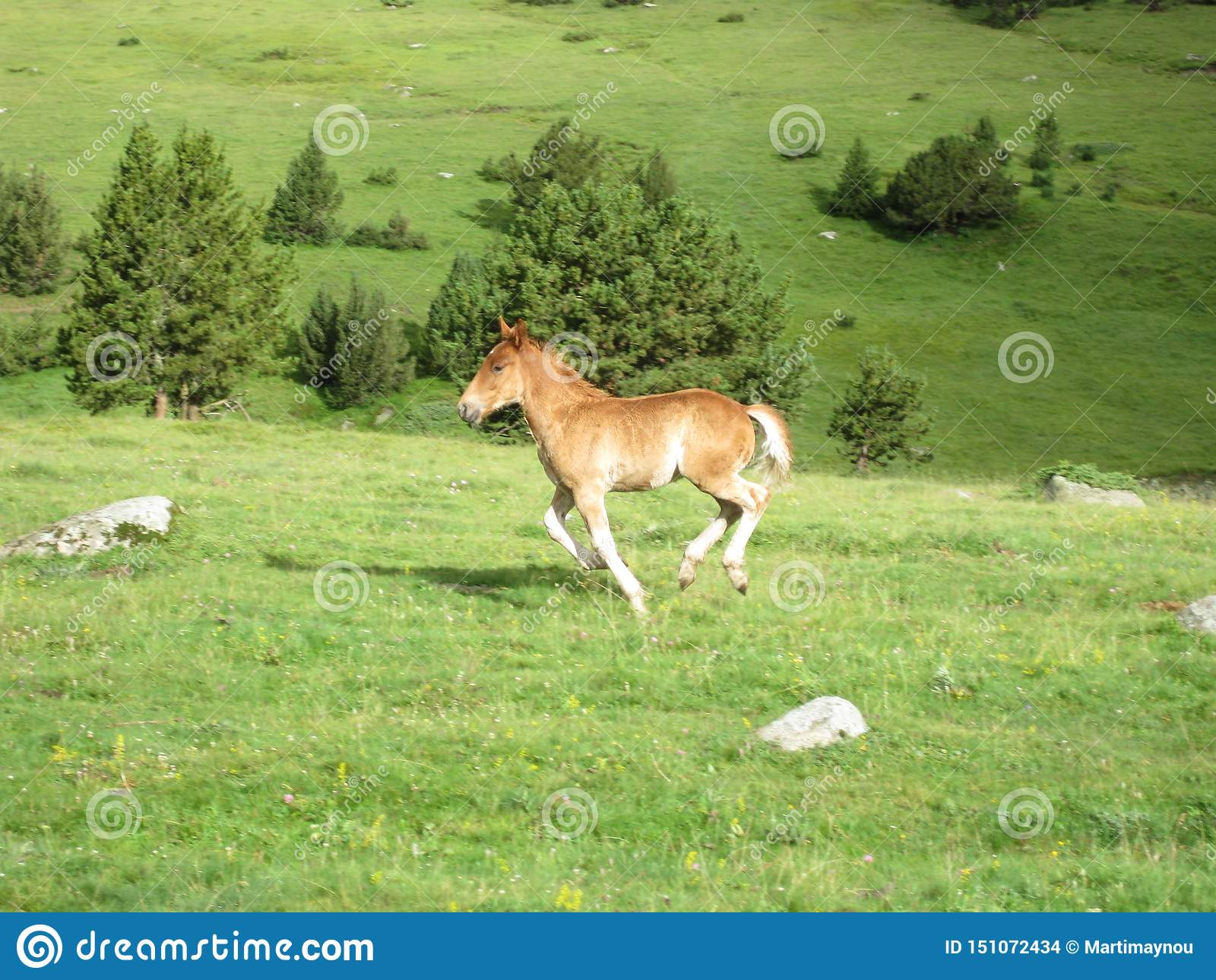 Wildes Pferd, das durch die Wiese läuft