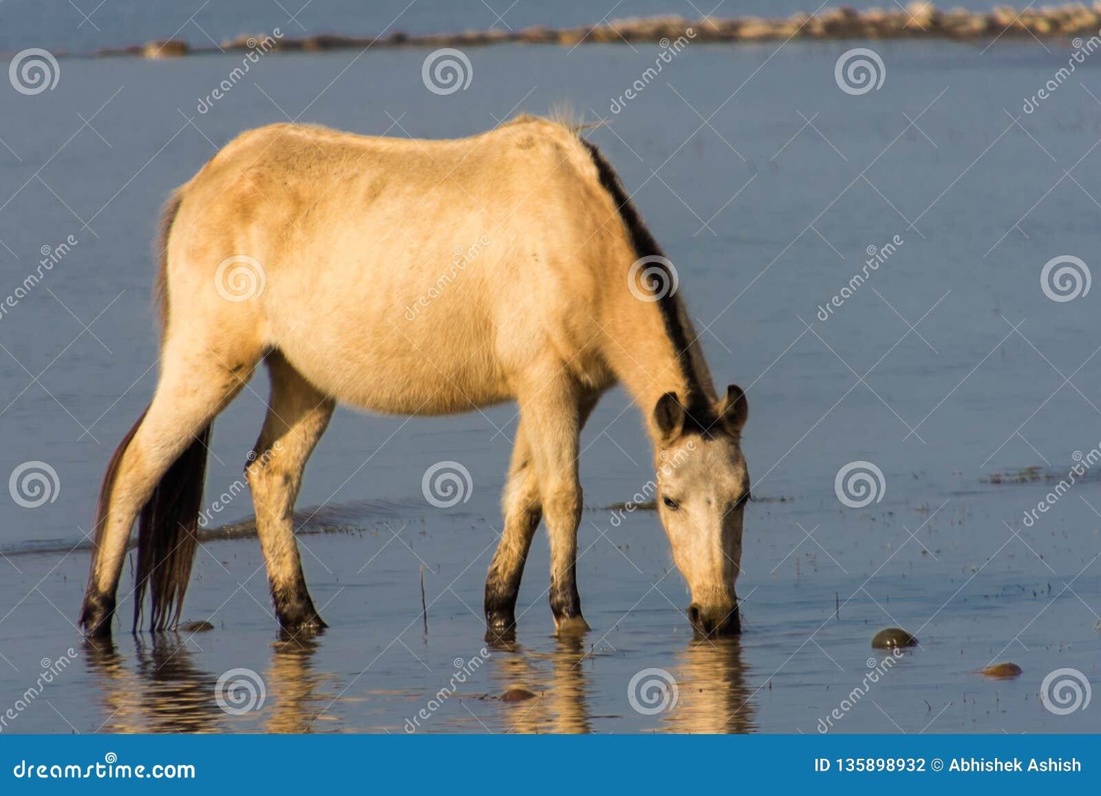 Wildes Pferd, das im See weiden lässt