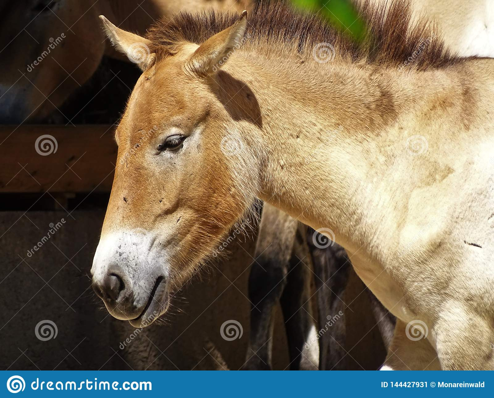 Wildes Pferd im Zoo in Augsburg in Deutschland