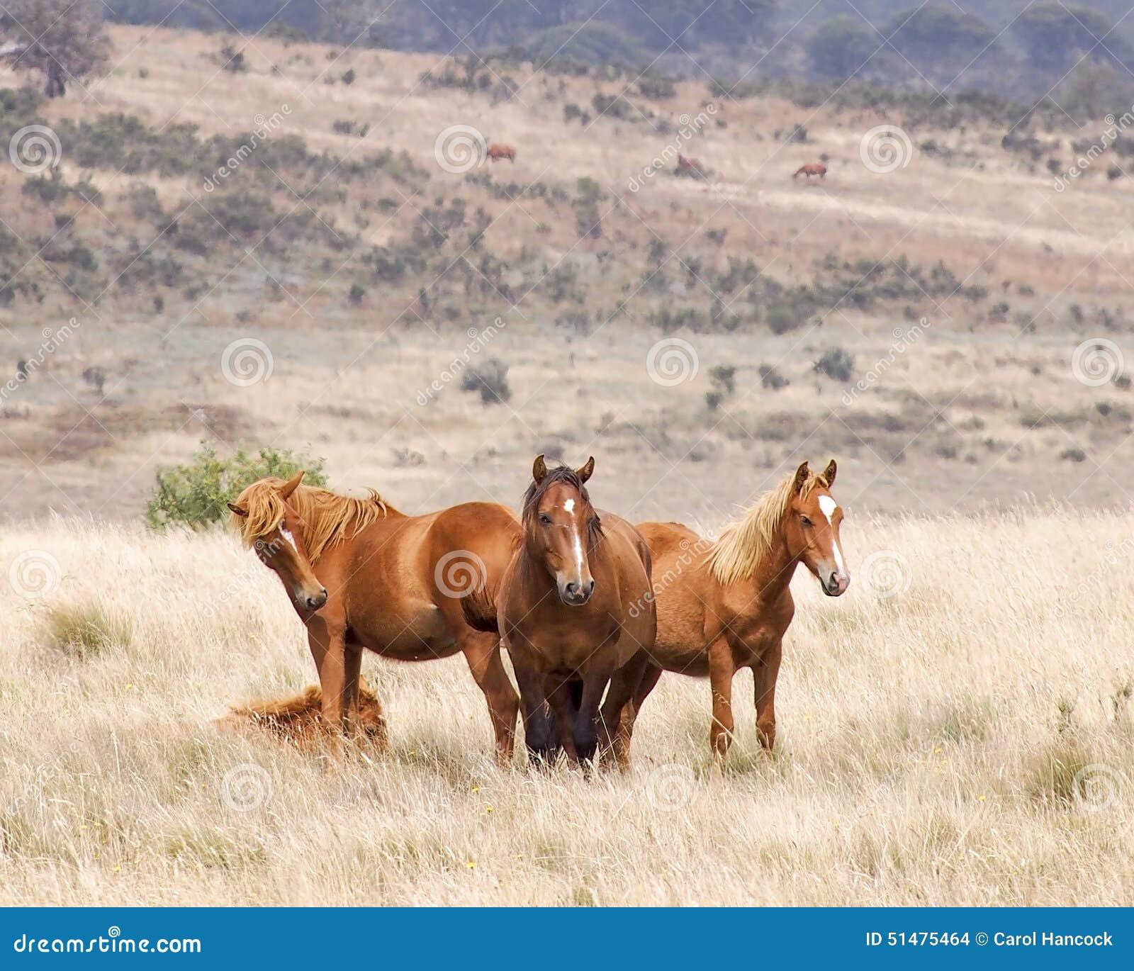 Wildes Pferdhengst und seine Herde
