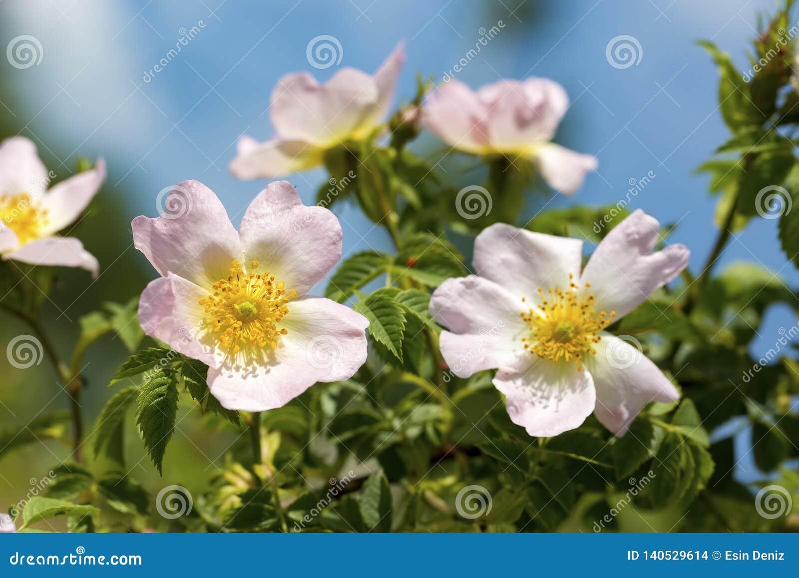 Wildes Rose Rosa-canina mit den offenen Blumenblättern im Frühjahr
