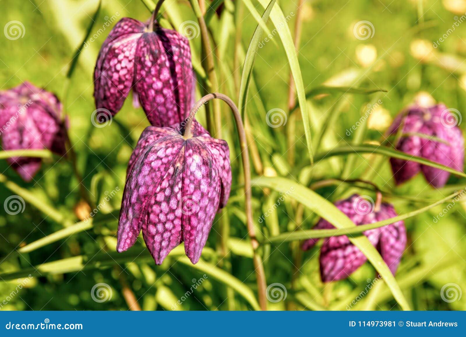 Wildes Schlange ` s-köpfiger Fritillary - Fritillaria Meleagris, Worcestershire