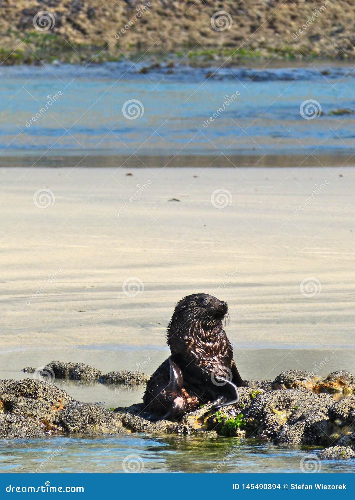 Wildes Seehundbaby erm?det vom Spielen mit seinem Sibblings an Wharariki-Strand, Neuseeland