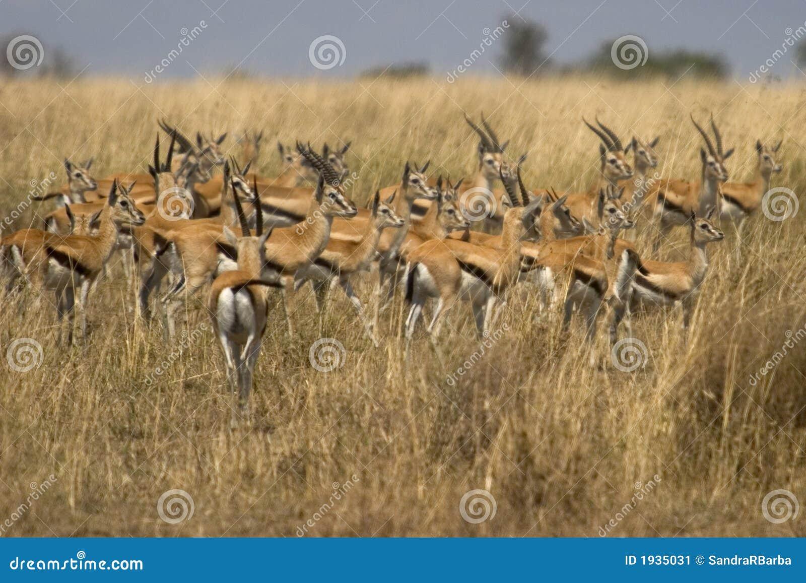 wildes tier in afrika serengeti nationalpark stockbild bild 1935031. Black Bedroom Furniture Sets. Home Design Ideas