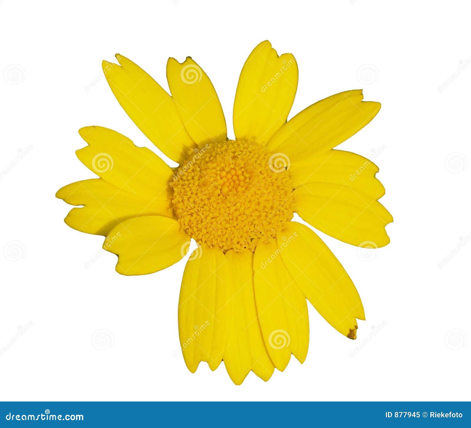 Wildflower żółty